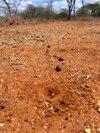 Tracking_masai_walking_sticks