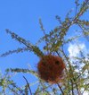Weaver_nest_better_for_web